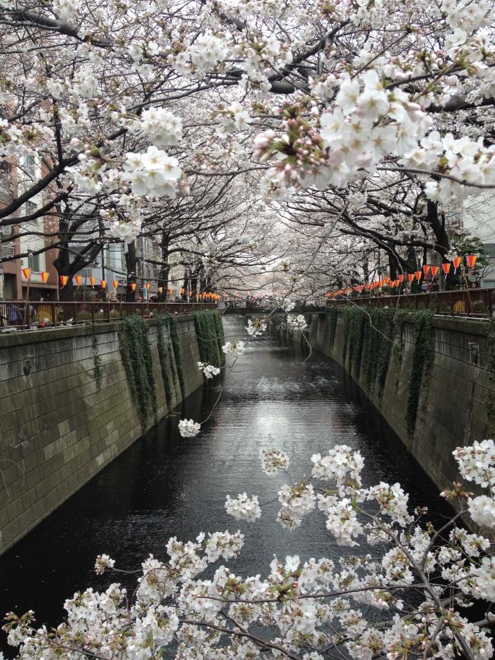 Ya ha llegado el sakura a Nakameguro en 2013 (Foto de Naomi Hatta)