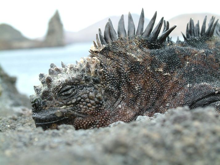 Iguana con el Pináculo de fondo (Foto por Pietro Belli)