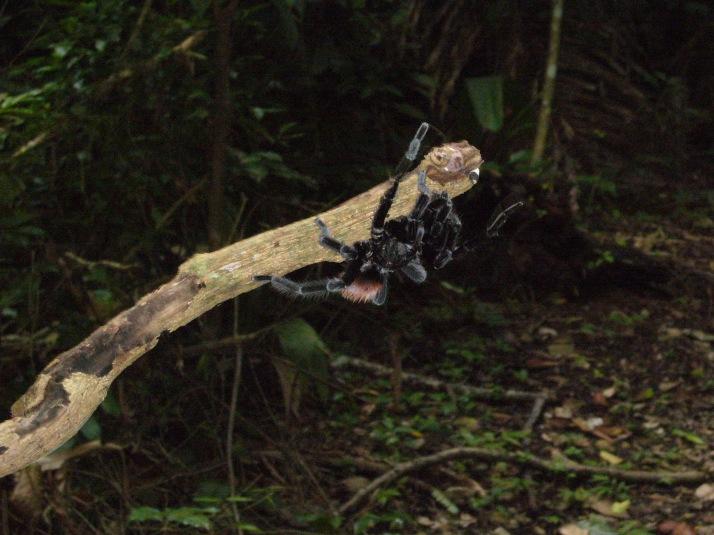 Tarantula 3