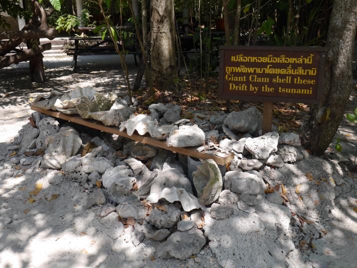 Almejas gigantes traidas por el tsunami de 2004